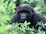 To Gorilla Image gallery