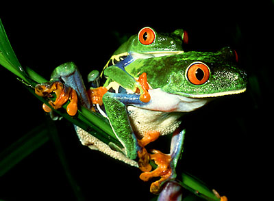 Tree Frog (Agalychnis calcarifer) Courtship,  Costa Rica, Central America