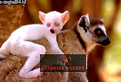 Ring-tailed  Lemur (Lemur catta) all white baby male-Sapphire with mother
