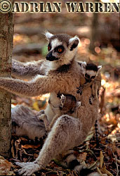 Ring-tailed Lemurs (Lemur catta) mother with twin babies