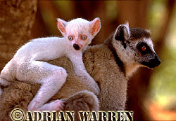Ring-tailed  Lemur (Lemur catta) all white baby male-Sapphire on mother's back