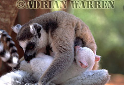 Ring-tailed Lemur (Lemur catta) : Sapphire with mother